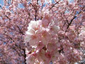 Kawadu_Sakura2