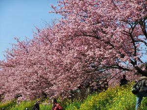 Kawadu_Sakura1