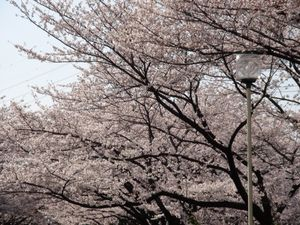 Sakura10_1