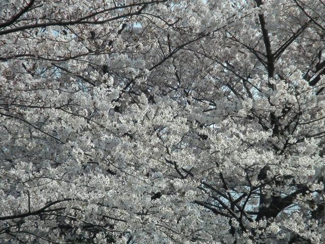 Sakura10_2