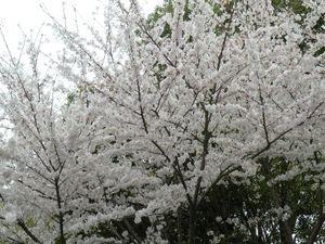 Sakura2011_1