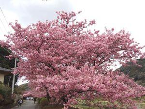 Kawadu_Sakura5