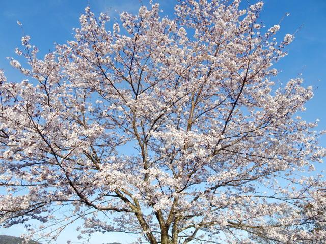 190404_3Tamematsu_Cherry