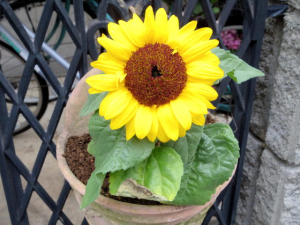 190706Sunflower