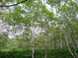 Shirakaba_woods