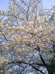 Sakura_1syou