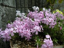 Shibazakura1